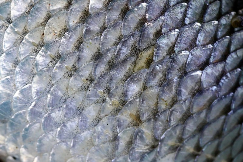 Fish scales royalty free stock photo image 8074275 for Do all fish have scales