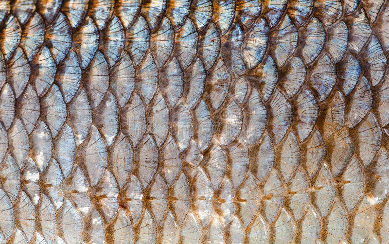 The fish scales background close up. Silver and gold color royalty free stock images