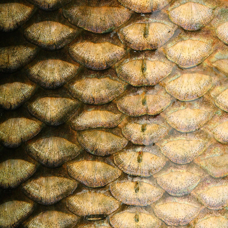 Fish scales - close up. royalty free stock photos