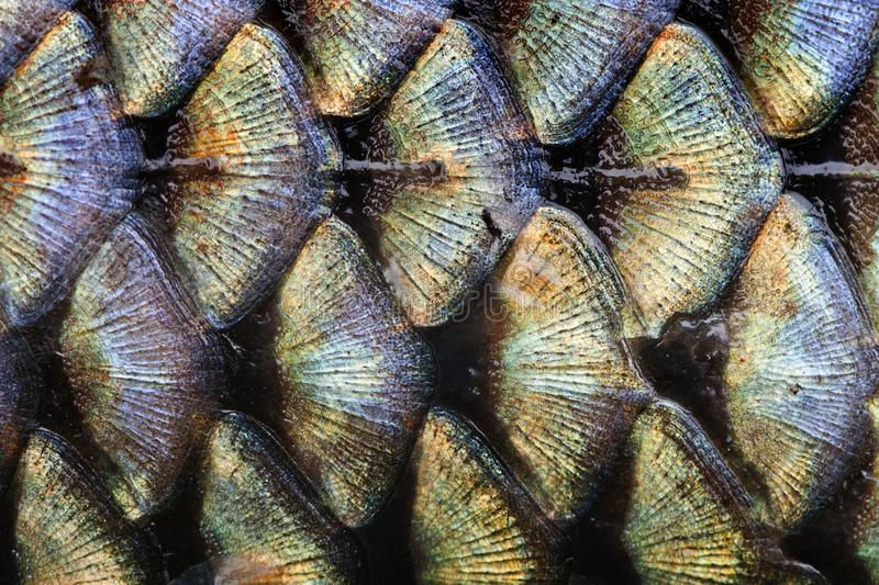Fish scales pattern skin texture background macro view. Geometric pattern photo wild carp with lateral line. Selective royalty free stock photography