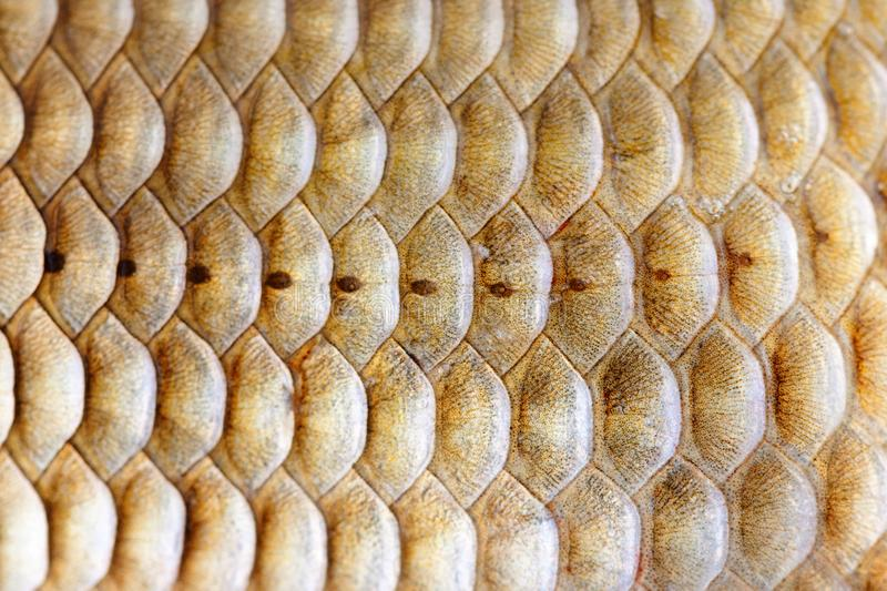 Fish scales pattern skin texture background macro view. Geometric pattern photo Crucian carp Carassius scaly with stock images