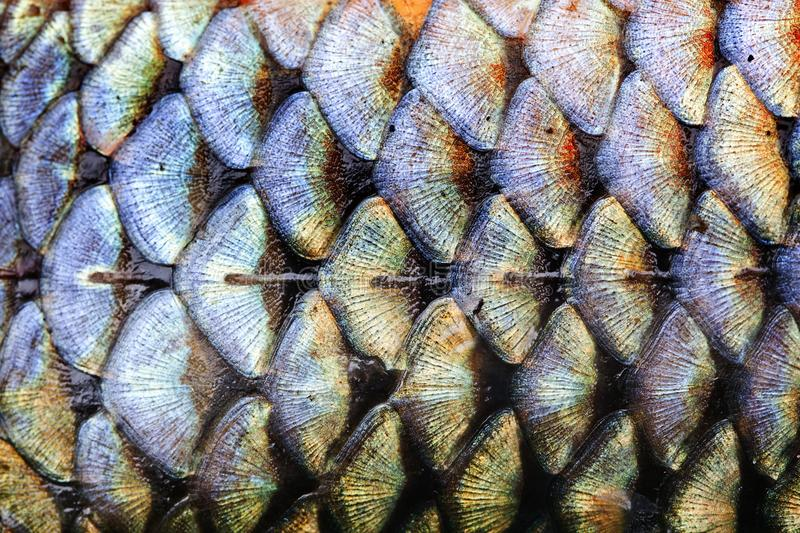 Fish scales skin pattern texture background macro view. Geometric pattern photo wild carp with lateral line. Selective. Fish scales skin texture background macro royalty free stock photos