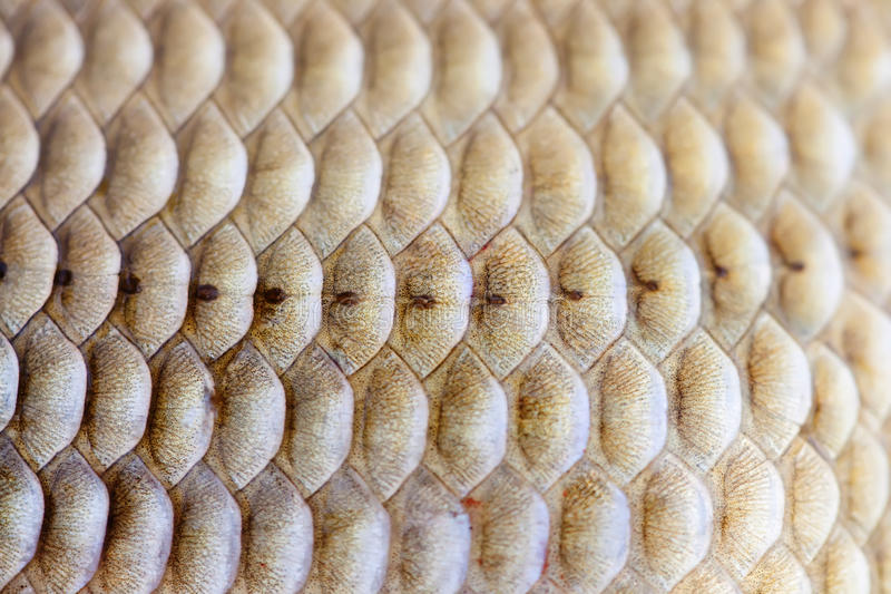 Fish scales skin texture macro view. Geometric pattern photo Crucian carp Carassius scaly with Lateral line. Selective. Focus, shallow depth field royalty free stock photo