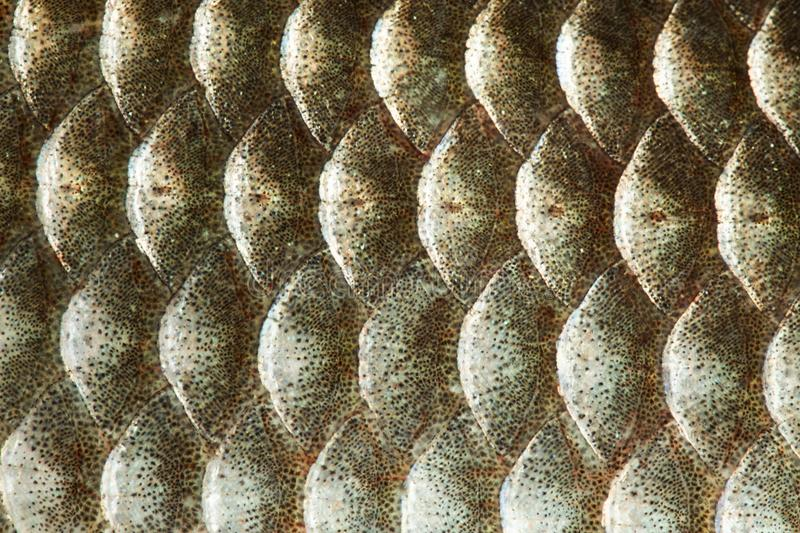 Fish scales skin texture macro view. Geometric pattern photo gold color Crucian carp Carassius scaly with Lateral line. Selective focus, shallow depth field stock photos
