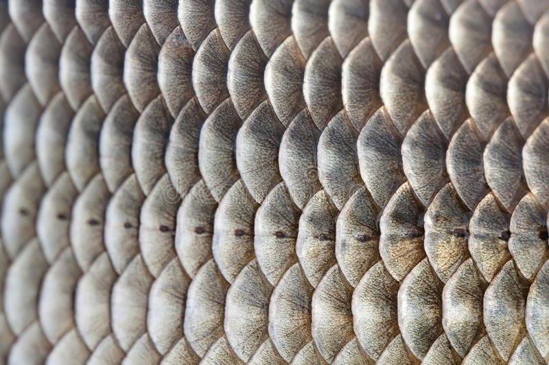 Fish scales skin textured pattern photo. Macro view Crucian carp Carassius scaly with Lateral line. Selective focus royalty free stock photo