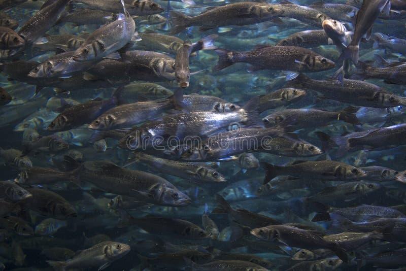 Fish school shoal in blue ocean stock photo
