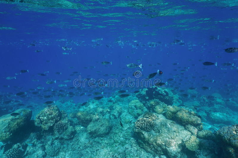 Fish schooling coral reef barrier Pacific ocean. Tropical fish schooling mostly short-nosed unicornfish underwater at the edge of a coral reef barrier, Rangiroa royalty free stock images