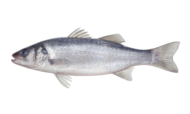 Fish seabass. Isolated on the white background stock photos