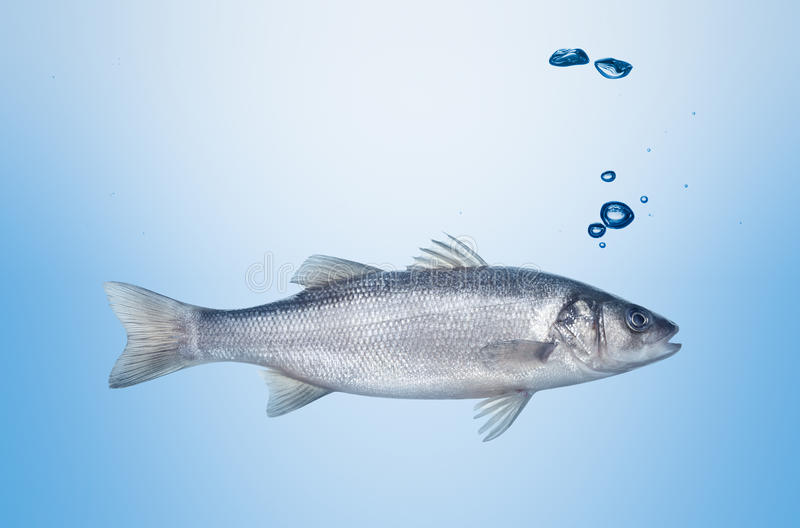 Fish seabass under water. Fish seabass depth under water with bubbles stock photos
