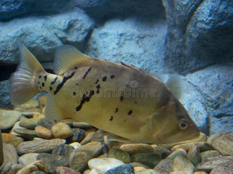 Fish Siamese tigerfish royalty free stock photography