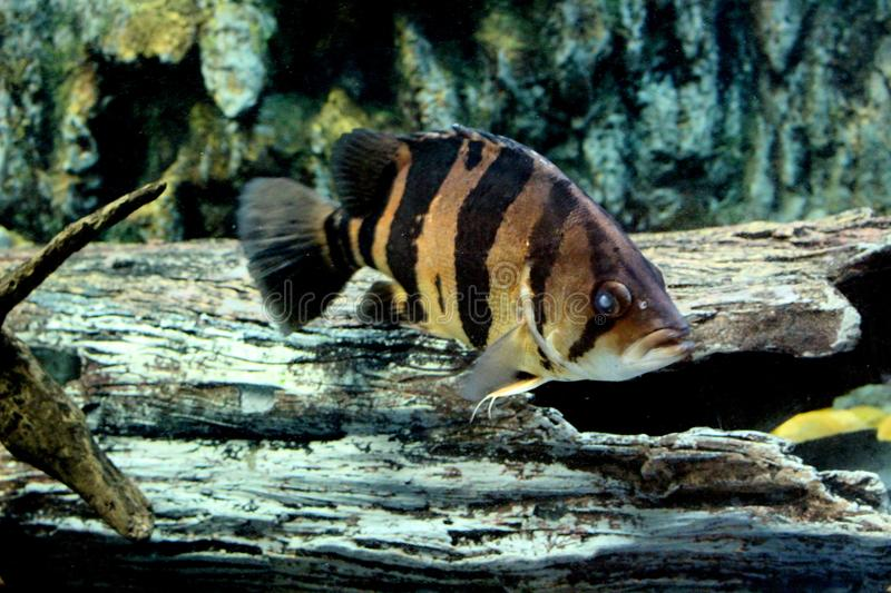 Fish : Siamese tigerfish Datnioides pulcher stock images