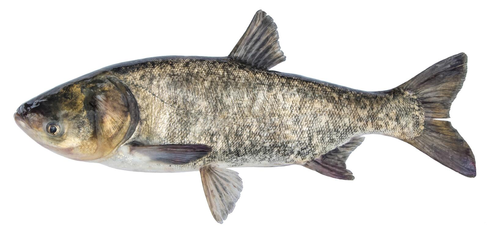Fish silver carp. Side view bighead carp. Isolated Hypophthalmichthys royalty free stock images