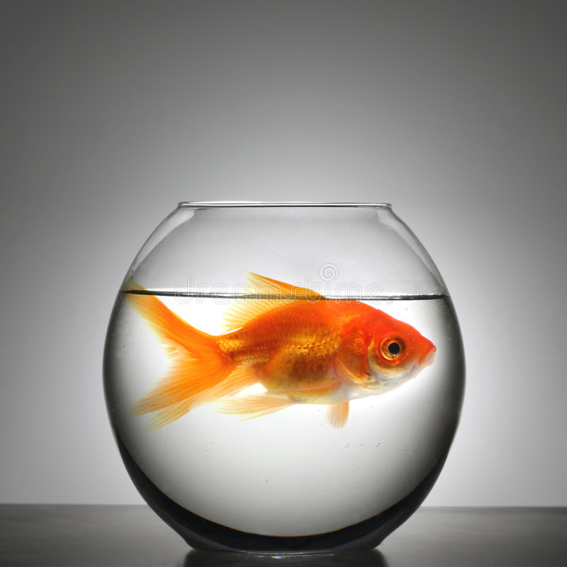 Download Fish in small bowl stock photo. Image of tight, side, business - 4002754