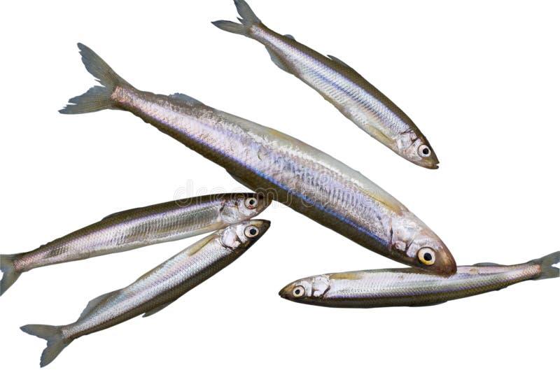 Fish Smelt 1 stock photos