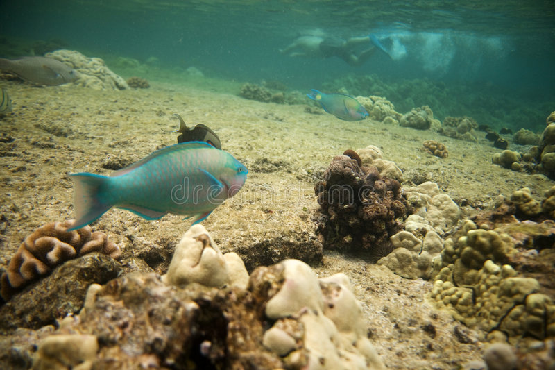 Download Fish and Snorkeler stock photo. Image of resort, tropical - 7510832