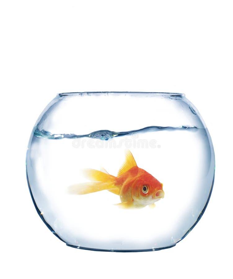 Fish in spherical aquarium royalty free stock photography