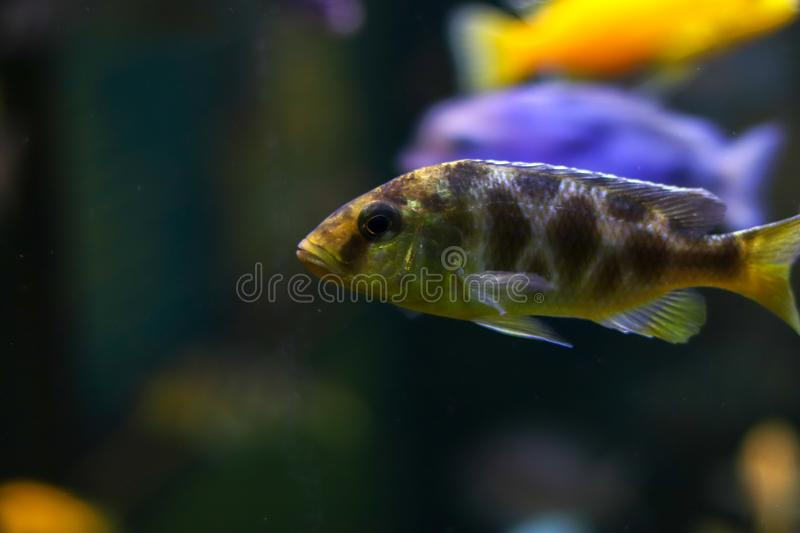 Fish with spots of unusual color swims side ways. Oceanic flora and fauna, life under water. Bokeh effect with blurry dark royalty free stock photo