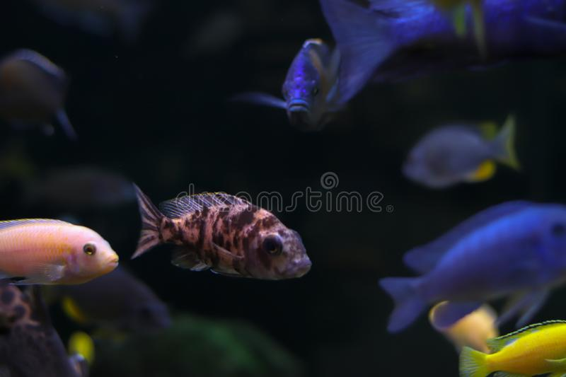 Fish with spots of unusual color swims side ways with other fishes. Oceanic flora and fauna, life under water. Bokeh effect with. Blurry dark background royalty free stock image