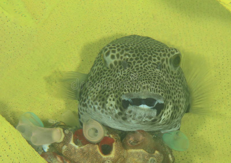 Fish - Star puffer royalty free stock photo