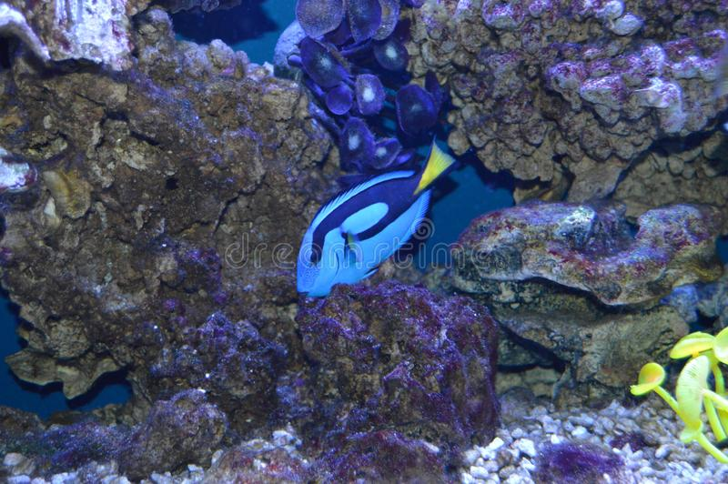 Fish Surgeon stock images