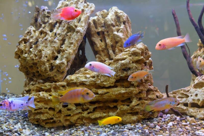 The fish swim in an aquarium. Many fish in aquarium stock photos