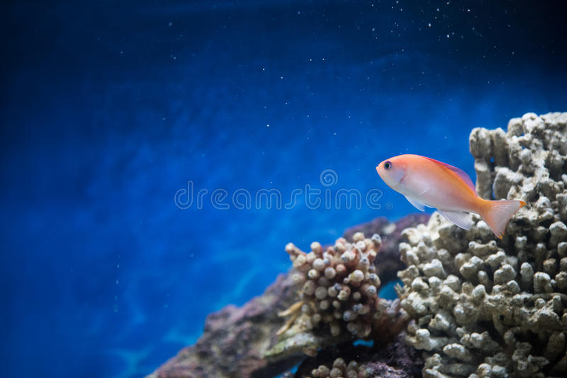 Fish swimming in a salt water tank. Background royalty free stock photography