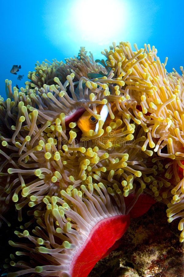 Fish swimming in sea anemone royalty free stock photography