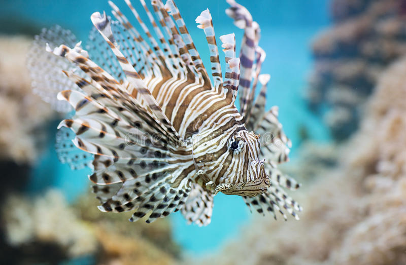 Fish swims in the aquarium, Zebra winged. Fish among corals and algae royalty free stock photography