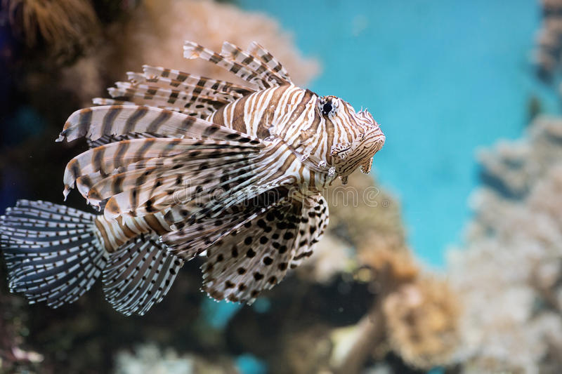 Fish swims in the aquarium, Zebra winged. Fish among corals and algae royalty free stock image