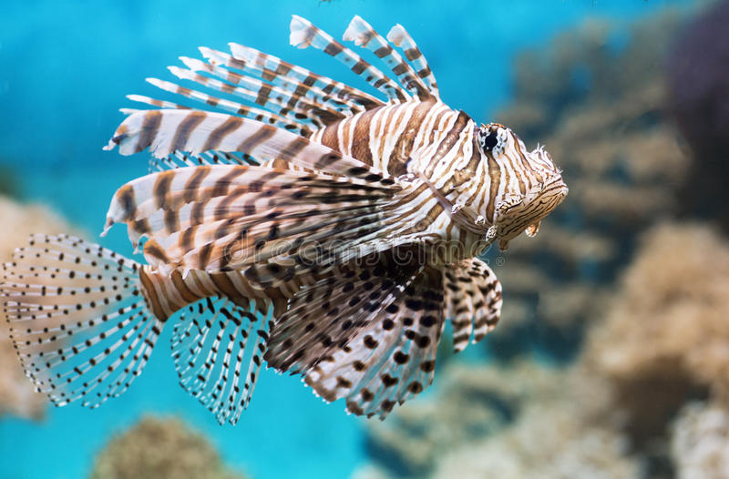 Fish swims in the aquarium, Zebra winged. Fish among corals and algae stock photo
