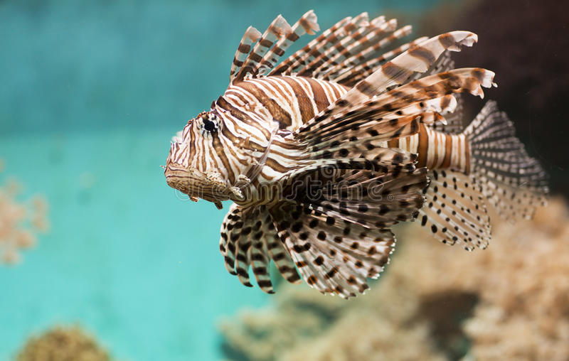Fish swims in the aquarium, Zebra winged. Fish among corals and algae royalty free stock photos