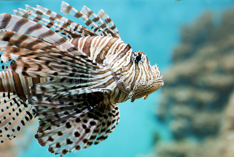 Fish swims in the aquarium, Zebra winged. Fish among corals and algae stock image