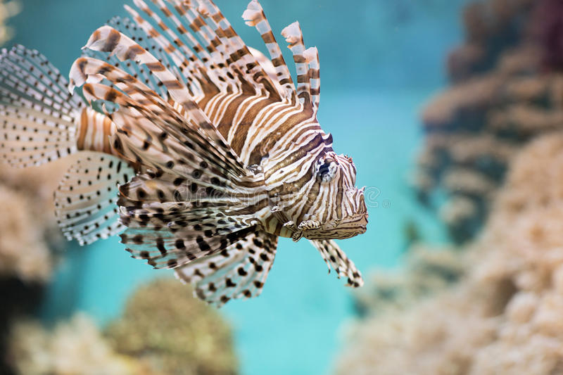 Fish swims in the aquarium, Zebra winged. Fish among corals and algae royalty free stock images