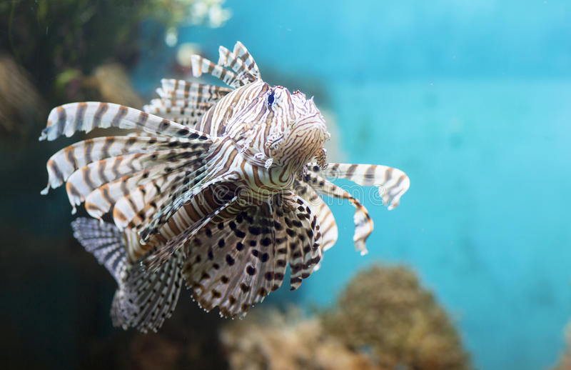 Fish swims in the aquarium, Zebra winged. Fish among corals and algae royalty free stock photo