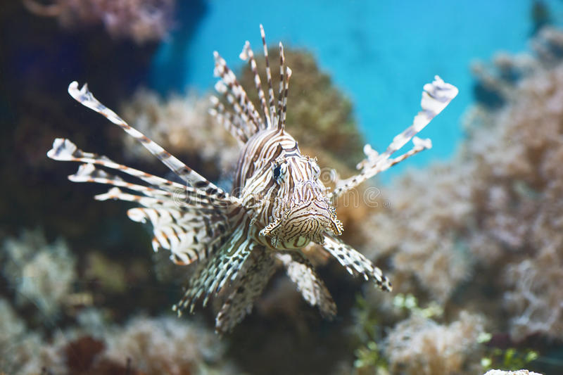 Fish swims in the aquarium, Zebra winged. Fish among corals and algae stock photography