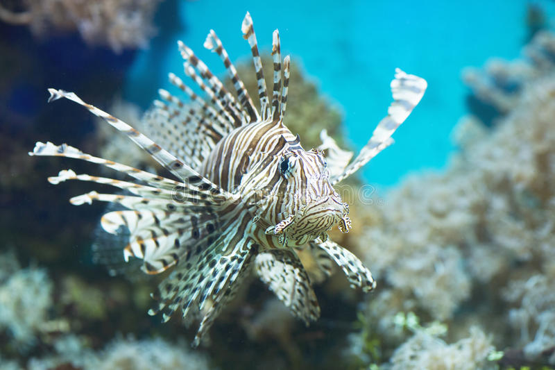 Fish swims in the aquarium, Zebra winged. Fish among corals and algae stock photos