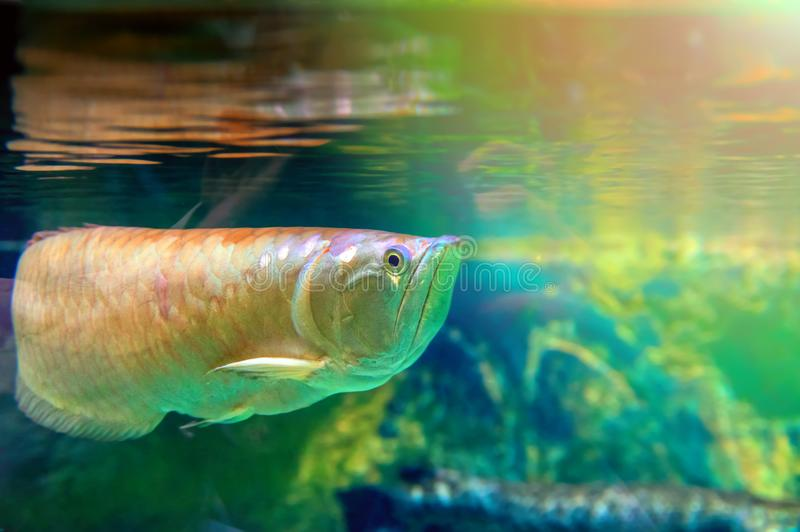 Fish swims at the surface of the water illuminated by the sun. Reflection of Golden big fish on the surface of the water. royalty free stock images