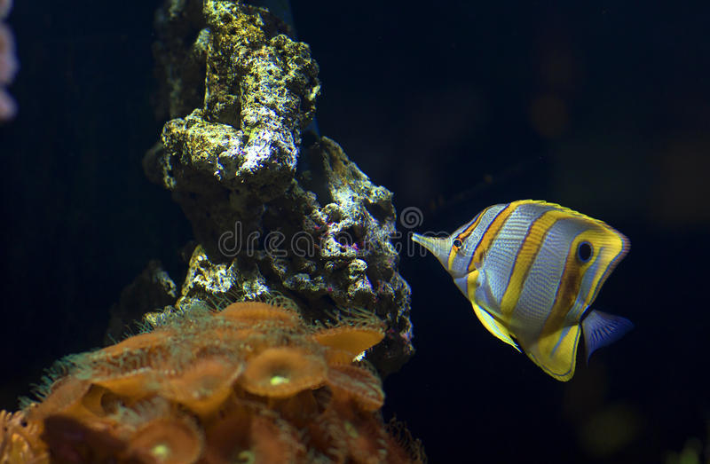 Fish swims in the water in the aquarium. Yellow fish among corals and algae stock image