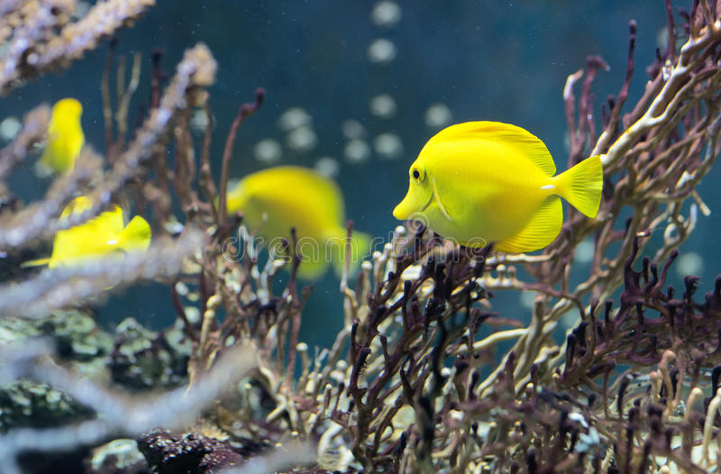 Fish swims in the water in the aquarium. Yellow fish among corals and algae royalty free stock images
