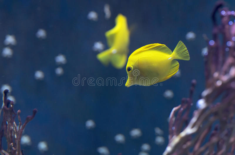 Fish swims in the water in the aquarium. Yellow fish among corals and algae stock photography