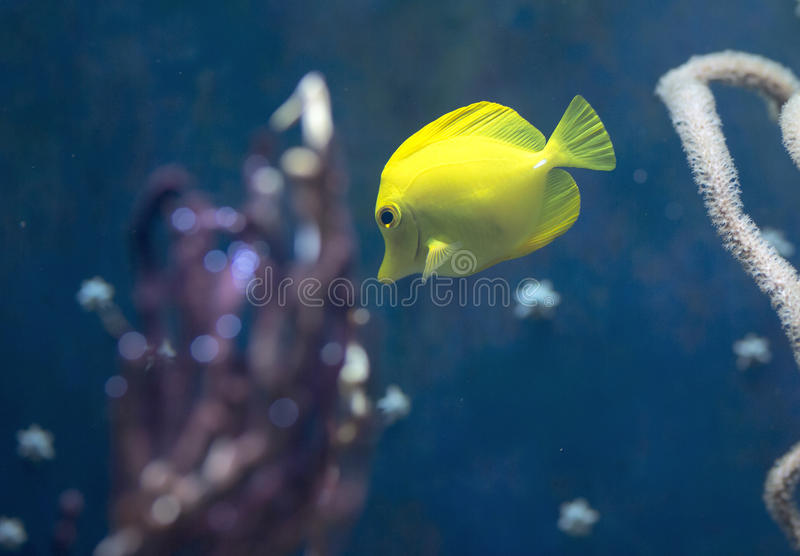 Fish swims in the water in the aquarium. Yellow fish among corals and algae royalty free stock photography