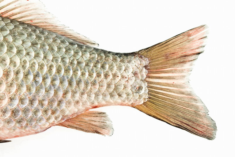 Download Fish tail stock photo. Image of healthy, dinner, river - 6662566