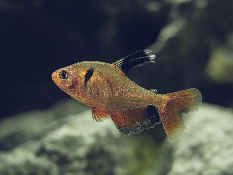 Long Fin Red Minor Tetra swimming contently in the fish tank stock image