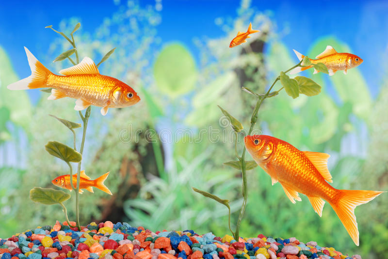 Fish tank with goldfish stock image