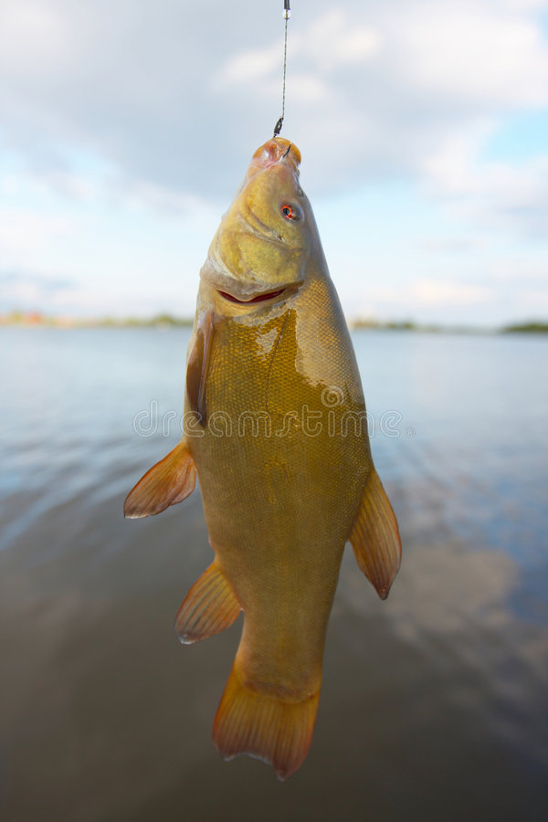 Download Fish: Tench Royalty Free Stock Image - Image: 6004486
