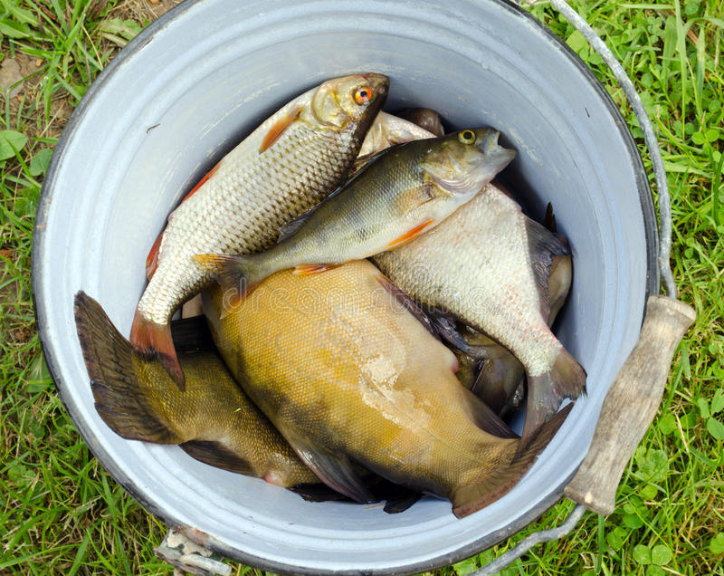 Download Fish Tench Roach Bass Catch In Retro Rusty Bucket Stock Photo - Image: 26592386