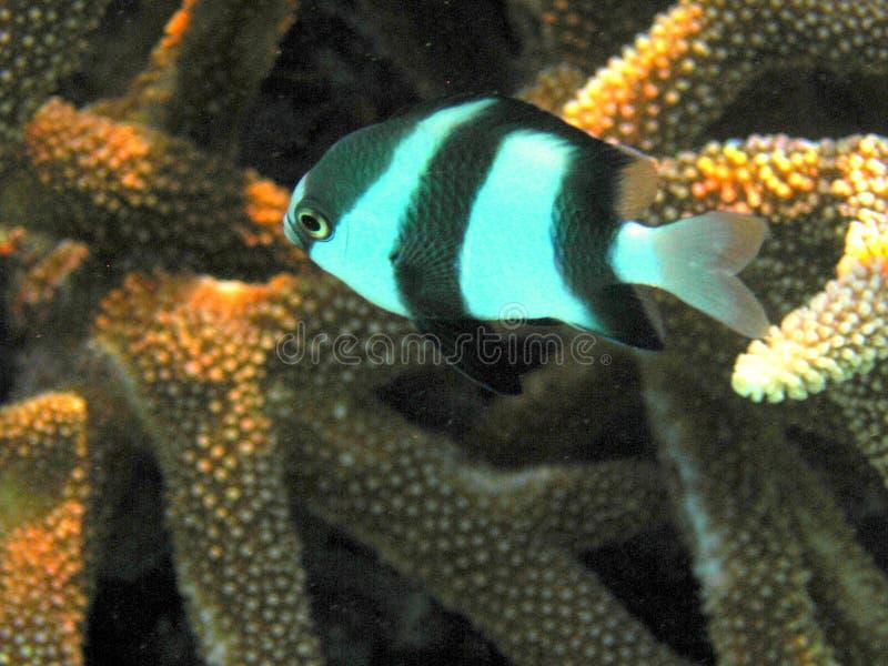 Fish : Three Striped Damsel. A little Three Striped Damsel swimming between corals italian name: Damigella Zebra scientific name: Dascyllus Aruanus english name stock image