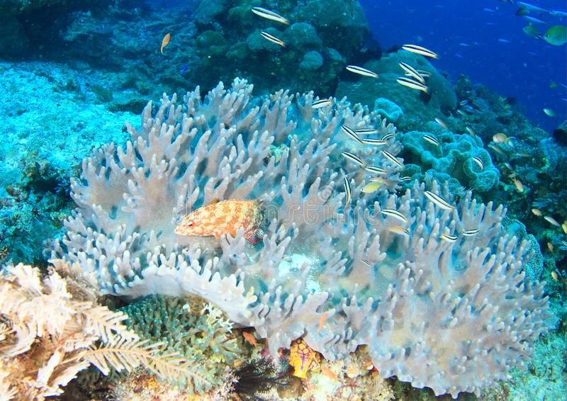 Fish tomato grouper. Cephalopholis sonnerati, hiding in grey coral with school of tiny fishes Yellowtail tubelip, Diproctaanthus xanthurus on coral reef in stock photo