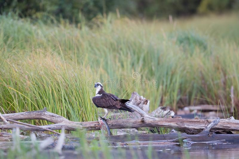 Osprey Hunting Victory royalty free stock photography