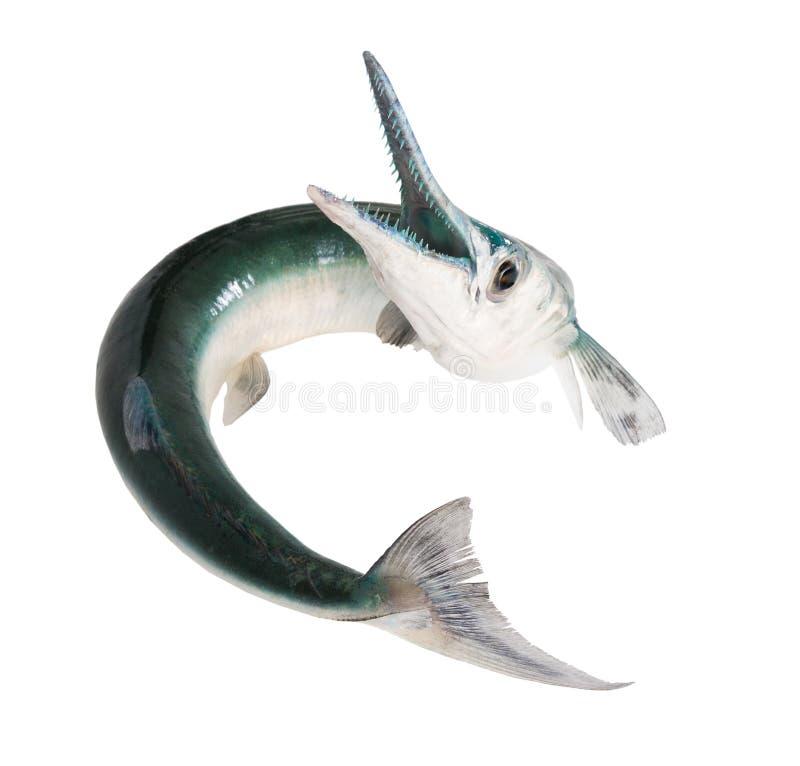 Fish with a toothy maw - houndfish, Tylosurus cro stock image